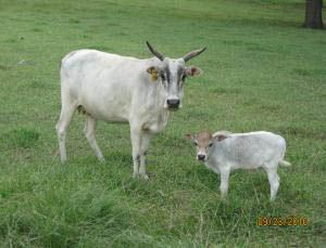 Miniature Zebu Cow - Komokos Songbird and her 2010 miniature zebu calf