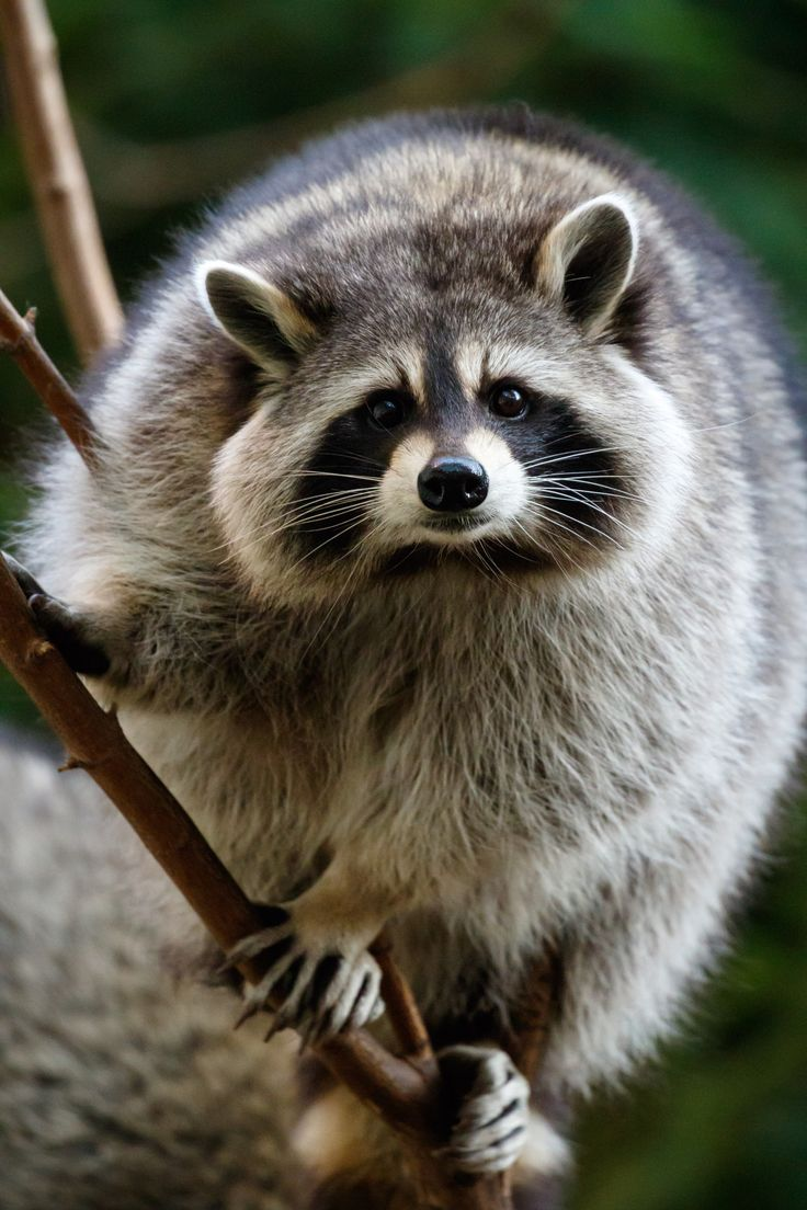 Raccoon by Dominic Marcoux - Photo 101813131 - 500px