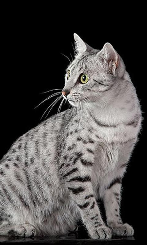 17 Best images about EGYPTIAN MAU CATS!! on Pinterest ...