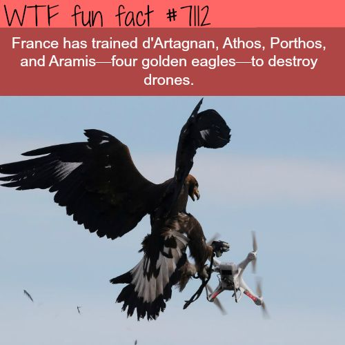 France has 4 eagles trained to destroy drones - WTF fun facts