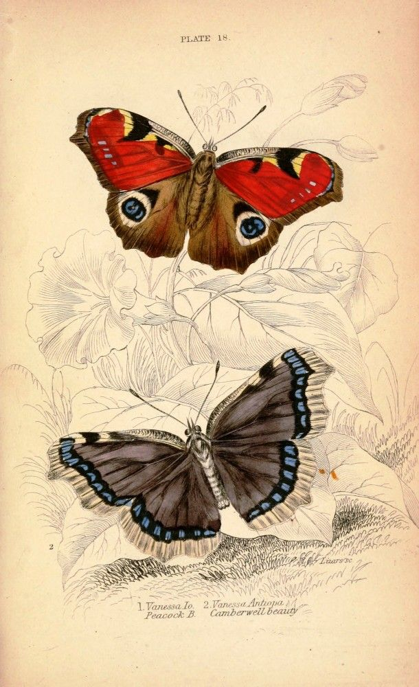 Vintage butterfly illustration; red butterfly