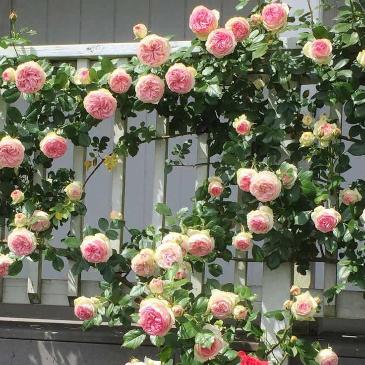 "Eden™️ climbing rose!  Large, old fashioned, fully double 4 1/2"", cupped blooms (petals 100). The blooms are an unusual blend of pastel pinks, creams and yellows. Vigorous bushy, well-foliaged, disease-resistant plant. A versatile repeat blooming climber ideal for many uses in the small or large garden for training on fences, trellises, walls and gazebos. Hardier than most climbers and of restrained growth. One of the finest climbers to come along in years."