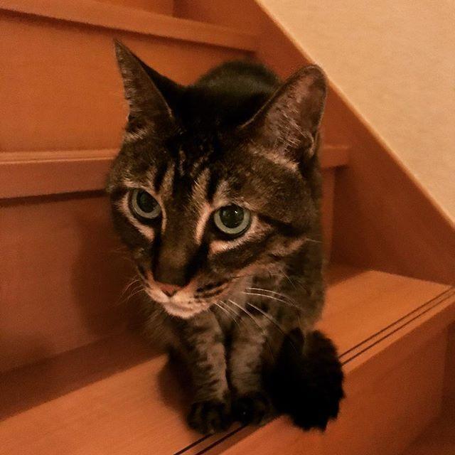 最近少しだけ性格が丸くなったぴーにゃん。基本は野生動物です。 #ねこ #キジトラ #cat #猫 #愛猫 #ひまわり動物病院