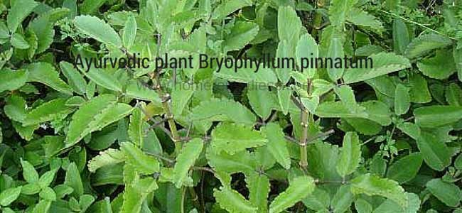 Find Ayurvedic plant Bryophyllum pinnatum uses and pics. Its also known as Miracle Leaf, Katakataka, Life Plant / Pashan Bheda. Its family is Crassulaceae.