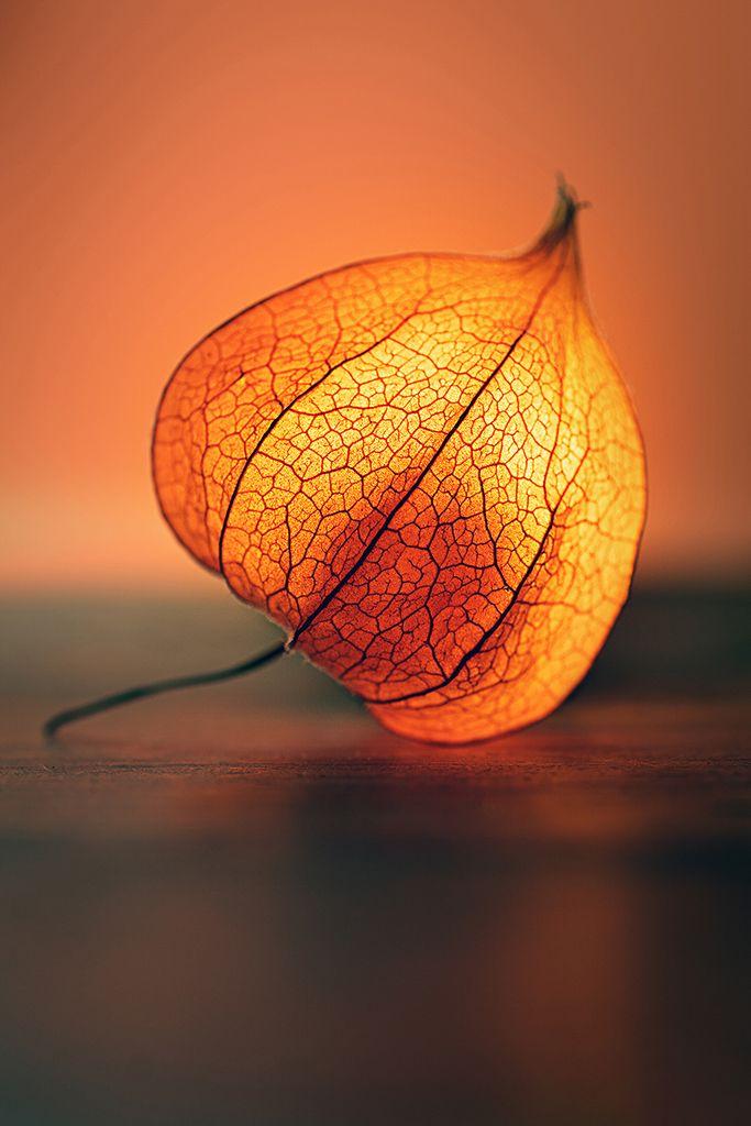 In diesem Beitrag erfährst Du, wie Du mit einfachen Mitteln eine Physalis zum Leuchten bringen kannst. Zusätzlich siehst Du Vorher-/Nachher-Bilder.