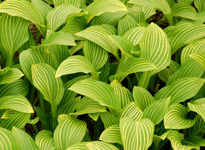 Hosta 'Mito-no-hana' - A yellow stripe runs along each vein in the leaves on this H. sieboldii descendant from Japan. Striping fades as summer progresses, with just a few center leaves retaining the yellow veining by early July -