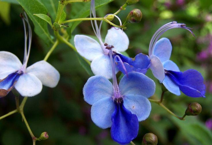 Цветы, клеродендрум угандийский букет купить