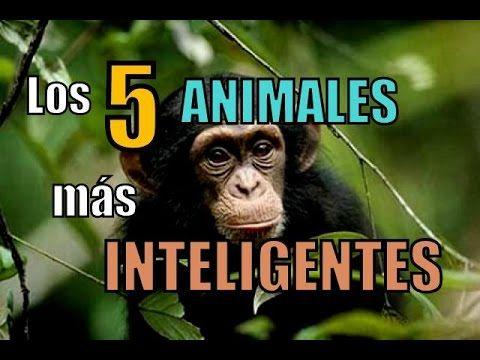 Los 5 animales mas inteligentes - en castellano