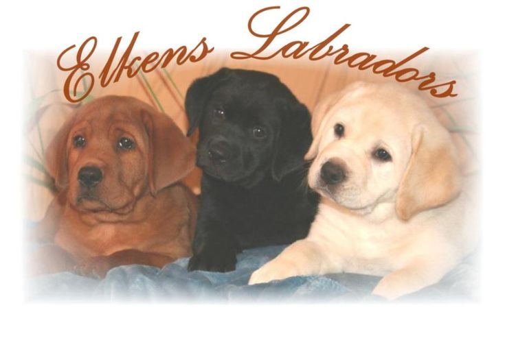 Fox red, Foxred, Black and yellow puppies for sale, Quality labradors