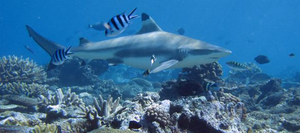 Beqa Lagoon, Fiji offers up to 8 species of sharks on any dive! Get ready Shark Fans! Have we got an adventure for you.