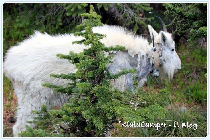 Mountain goat Glacier #findyourpark #glaciernp #montana