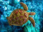 Ocean Indyjski. podwodny świat żółw w kamienie — Zdjęcie stockowe