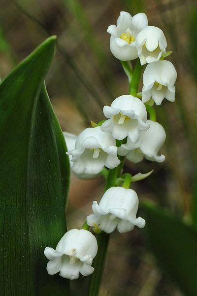 Top 5 Most Beautiful Flowers In The World : Lily of the valley