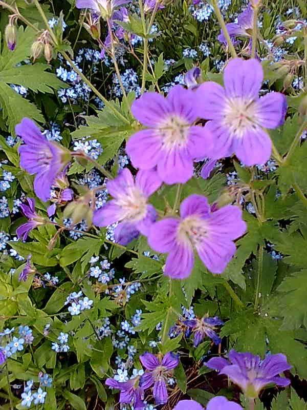 Metsäkurjenpolvi _Geranium sylvaticum