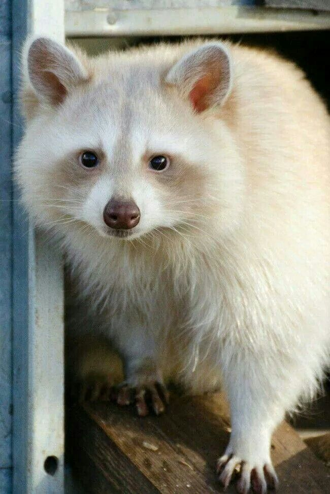 Amelanistic raccoon. People keep mistaking this for an albino. Albinos have red eyes. This one has black.