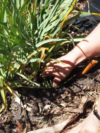 Can you dig it? Wild garlic.