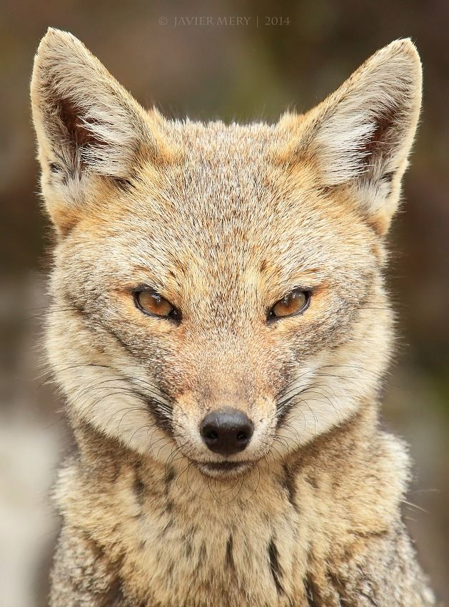The South American gray fox (Lycalopex griseus), also known as the Patagonian fox, the chilla or the gray zorro, It is endemic to the southern cone of South America including Chile and Argentina.