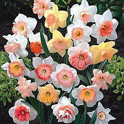 Hybridizer-s-pink-daffodil-mixture.  Fall is the time to plant daffodil bulbs!