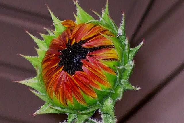 sunflower ready to open