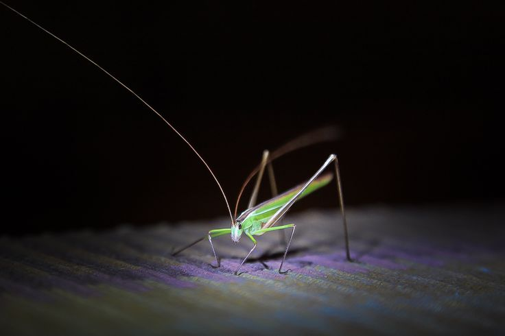 A sort of a grasshopper on the tablecloth in the dining hall of Andy's Camp, Balule Nature Reserve, South Africa.  (c) Miikka Järvinen, from my gallery South African Wildlife http://miikkajarvinen.wordpress.com/2014/02/21/south-african-wildlife/
