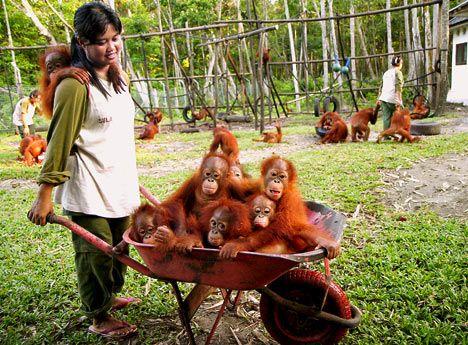 Orangutans in a wheelbarrow!
