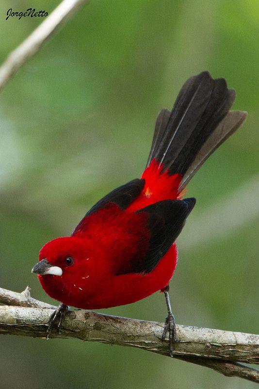 El sangretoro brasileño es una especie de ave de la familia Thraupidae, endémico de la región costera del este de Brasil, desde Paraíba hacia el sur hasta Santa Catarina.