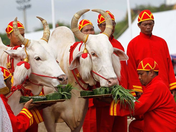 Royal sacred white oxen are offered food to consult the oracles during the Royal Ploughing Ceremony at the Royal Ground in Bangkok, Thailand. The ancient Brahmin rite is of great importance to the country's farmers. Thousands of people converge in Bangkok for the annual event, which is believed to assure a successful planting season and an abundance of crops. This year the sacred oxen ate grass which traditional soothsayers say predicts good harvests, abundant food and water.