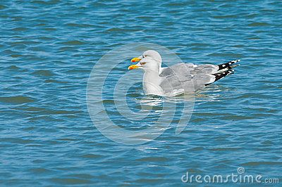 Two seagulls floating together side by side on sea blue water.
