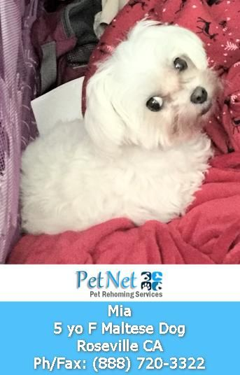 Sacramento Ca Purebred 5 Yo F Maltese Dog For Private Adoption