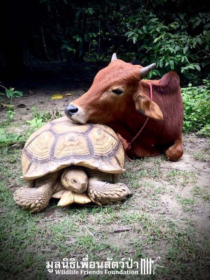 Rescued tortoise and calf friends