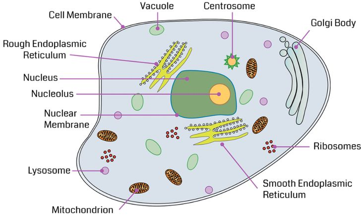 what are the parts of an animal cell and their functions ...