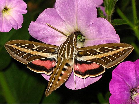 Hummingbird Moth. I saw one of these buzzing and flying around once.