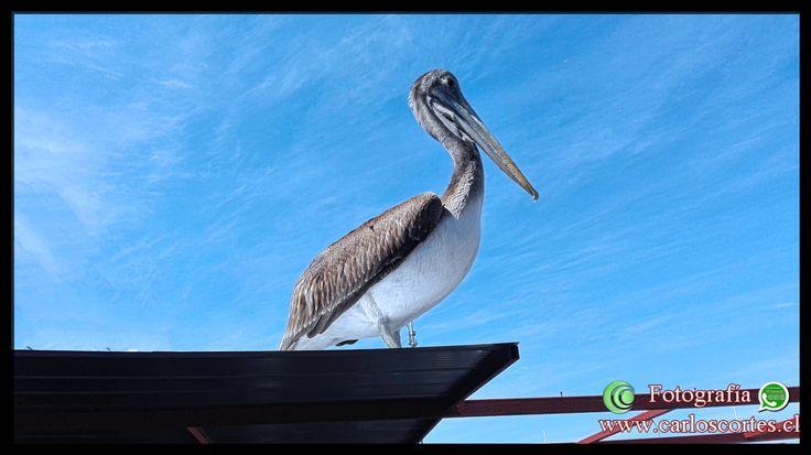 En el Puerto Un Pelicano goza de posar para los turistas locales