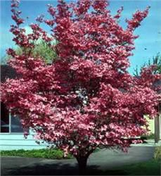 Red Dogwood - Cornus florida Red flowers in spring Reddish-purple fall leaves Red berries attract songbirds 25' tall with 25' spread Zone5- 9: From THE ARBOR DAY FOUNDATION (ships bare root) $10.98