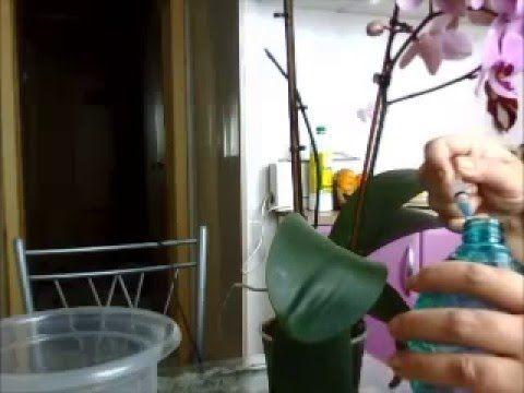 Орхидея Фаленопсис! Супер секрет борьбы с вредителями! - YouTube