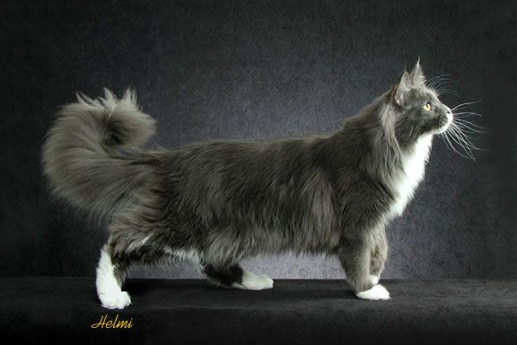 #MaineCoon #Blue&White #Cats photo by #HelmiFlick