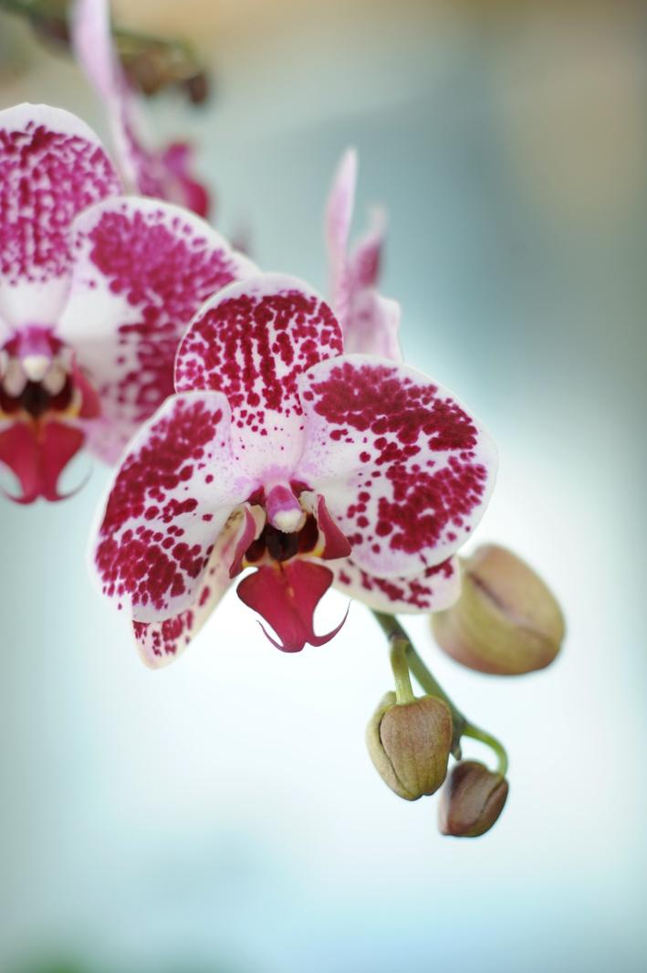 De Phalaenopsis is er in verschillende soorten en maten #woonplant #wpvdm #Mooiwatplantendoen #Phalaenopsis