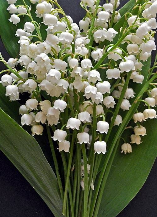 May's birth flower--the Lily of the Valley. I love the fragrance of these flowers.  My late grandparents had them growing all around the house. I would pick lots of bouquets and bring them inside.