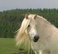 Afbeeldingsresultaat voor highlanders pony