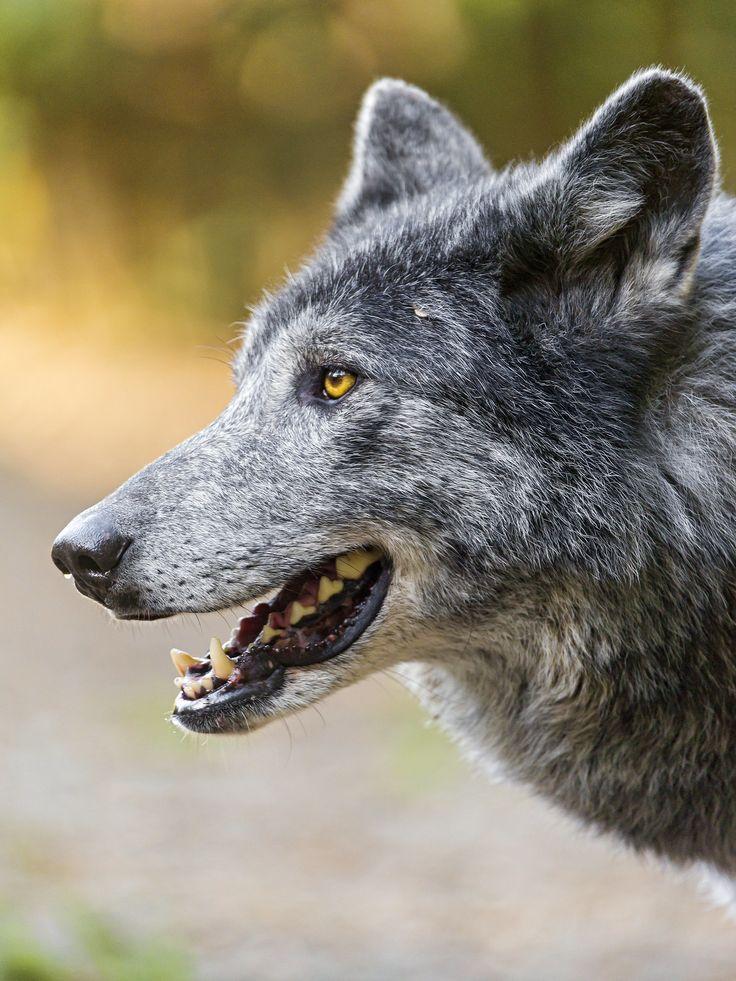 фото с головой волка том