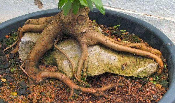 Tạo rễ cho bonsai và cây kiểng