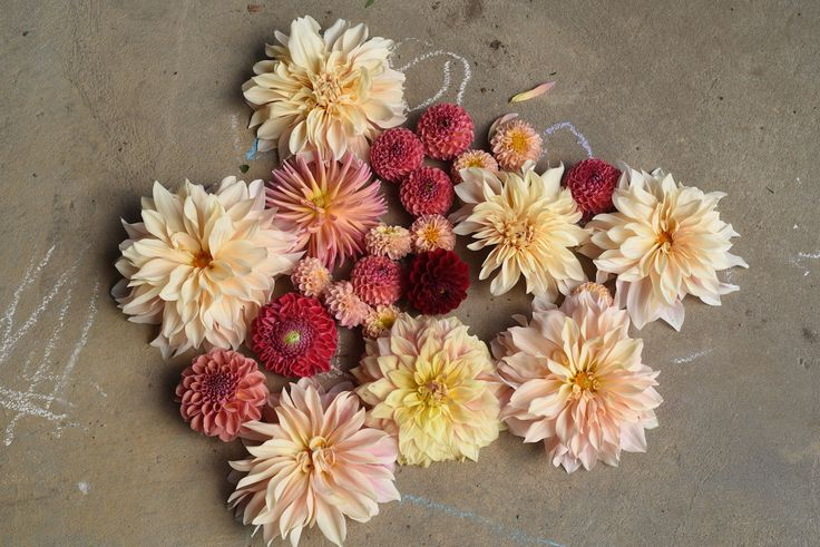 Dahlias: Cafe au Lait, red ball, apricot ball, cream dinner plate
