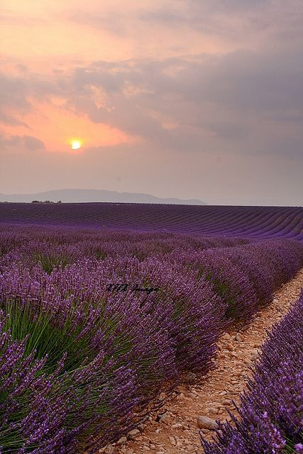 theadieu: Provence by Philips2008 on Flickr. CHAMP DE LAVANDE