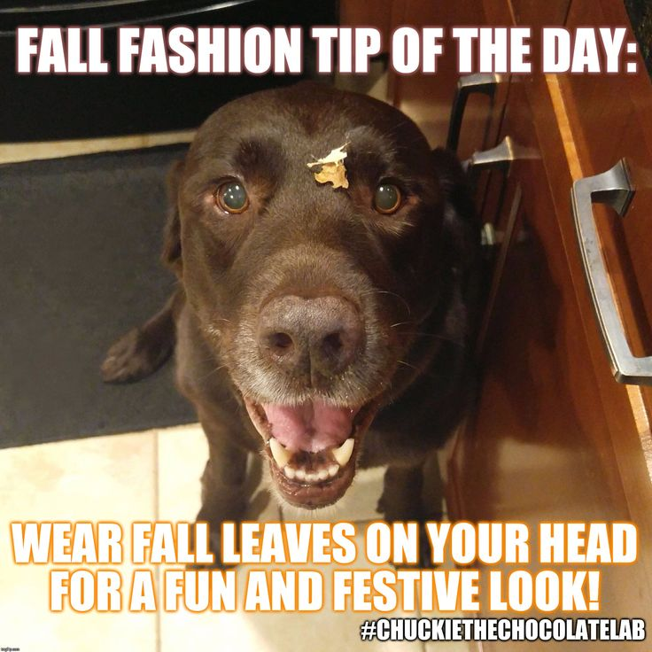 Best 25 Funny Labradors Ideas On Pinterest Labrador