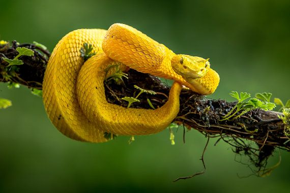 This beautiful yet deadly snake is an Eyelash Viper. It was found in the rainforests of Costa Rica.  Regular Prints: This beautiful image is