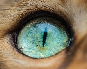 fascinantes-fotografias-de-olhos-de-gatos-por-andrew-marttila (2)Victor