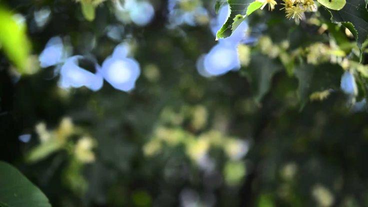 Kwiaty lipy z bliska. Które zbierać?
