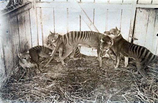 Extinct Thylacine (aka Tasmanian Tiger) family at Beaumaris Zoo in Hobart, 1910