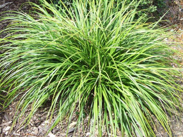 Carex dissita / NZ native, good for under trees, damp shade