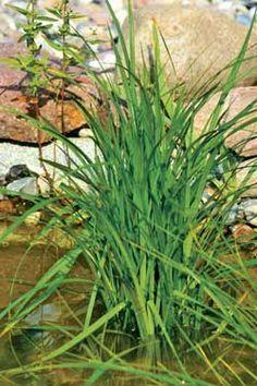 Mit der Wunder-Segge kann man den Teich biologisch reinigen. Mit der Pflanze haben Algen keine Chance.